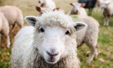 Подаряват овце на фермерите в Шарково