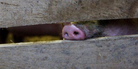 Откриха чума по свинете в сливенско село