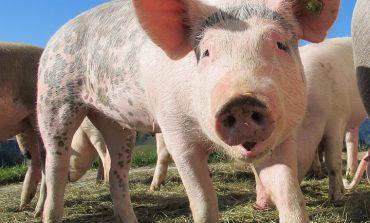 И днес в Крушаре ще има протест срещу умъртвяването на прасетата