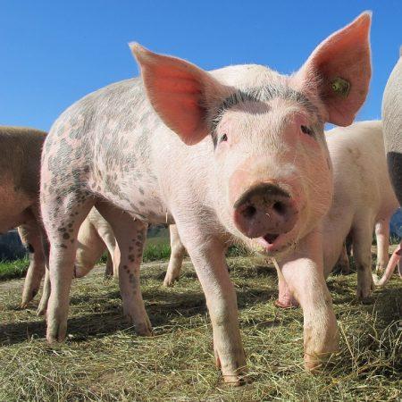 Африканска чума в свинекомплекс в съседна на Сливен област