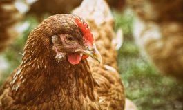 Масови проверки в птицефермите заради риск от инфлуенца