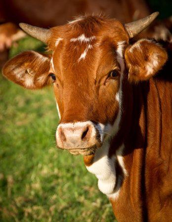 """Огнеборци и служители на """"Напоителни системи"""" вадиха крава от канал край ТЕЦ"""