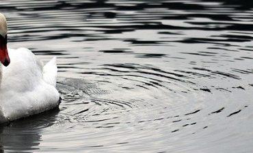 Сливенски пожарникари спасиха лебед, заплетен в рибарска корда