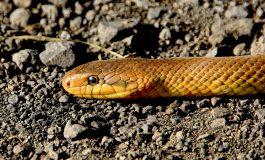 Бум на ухапвания от змии