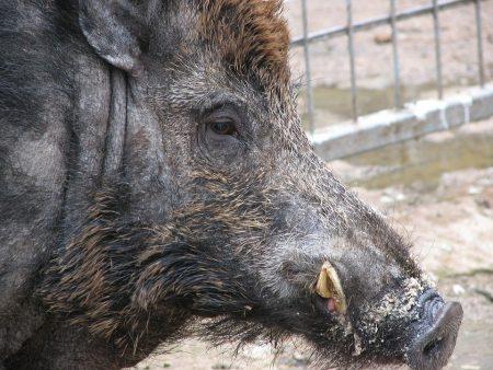 Стигна ли Африканската чума по свинете до Карандила?