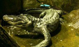 Любимият алигатор на Хитлер умря в Москва